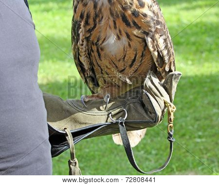 Owl  Perched On Glove Of Falconer