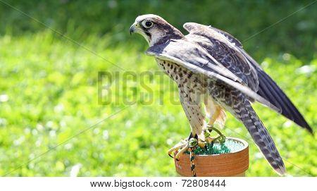 Peregrine Falcon Perched On A Trestle