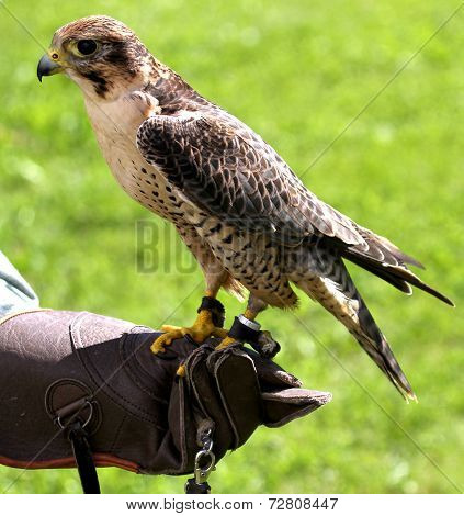 Peregrine Falcon Perched On Protective Glove Falconer During A Demonstration
