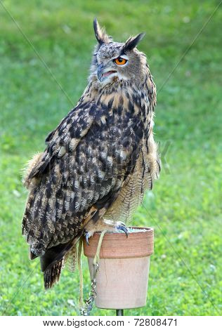Great Owl Perched Up On Support During The Demonstration