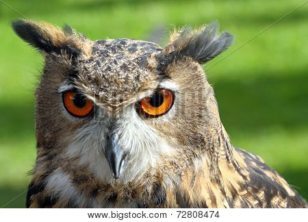 Great Owl Face With Orange Eyes And Attentive Gaze