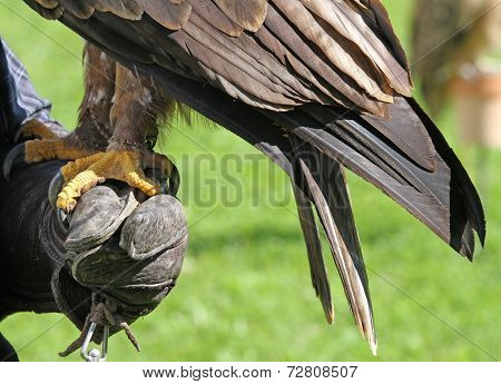 Falconer Trainer With A Long Eagle Claws On Protective Glove