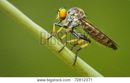 Asilidae (robber Fly) Sits On A Blade Of Grass