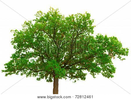 Old Oak Tree Crown Isolated On White Background