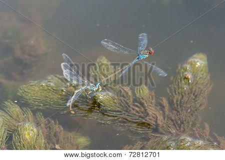 Blue Dragonfly Reproducion