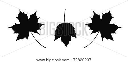 Detailed maple leaves illustration isolated on white