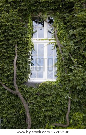 One Windows And Wall Covered In Ivy Leaves