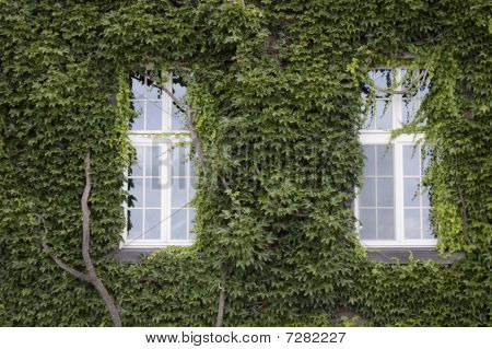 An Old House With Two Windows And Its Wall Covered In Ivy Leaves.