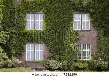 Four Windows And Wall Covered In Ivy Leaves