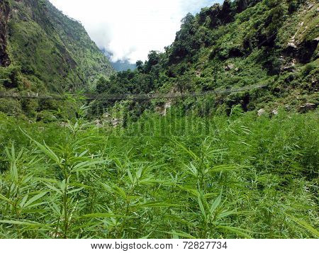 Wild Marijuana Field Before A Suspension Bridge In The Himalayas