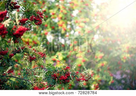 Rowan tree with red berry in the forest