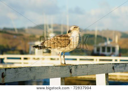 Seagull In Mangonui