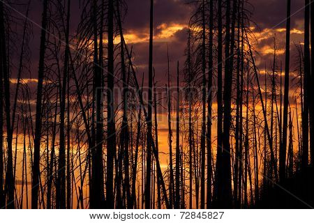 Sunset Through Burned Trees