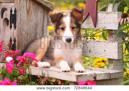 Shetland Sheepdog puppy on rustic wooden bench