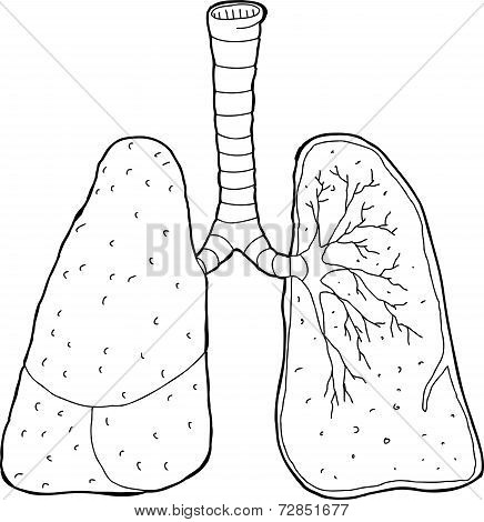 Outlined Cross Section Lungs