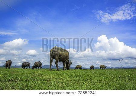 Buffalo Natural  Sky