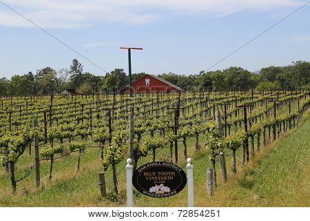 Blue Tooth Vineyard in Napa Valley
