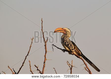 Yellow Billed Horn-bill - African Wild Bird Background - Beak of Stature