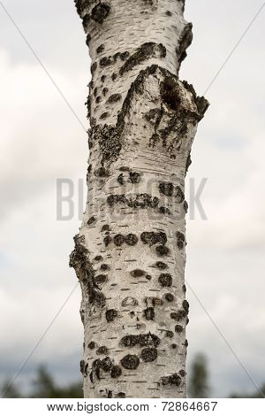 Tree Trunk Closeup