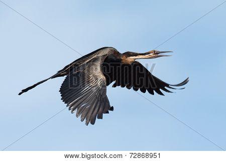 African Darter (anhinga Rufa) Calling In Flight