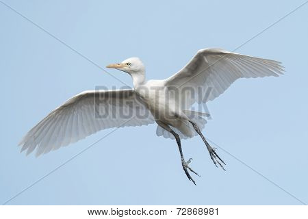 Cattle Egret (bubulcus Ibis) Coasting In Flight