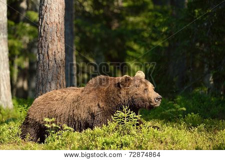 Brown Bear Resting In The Forest