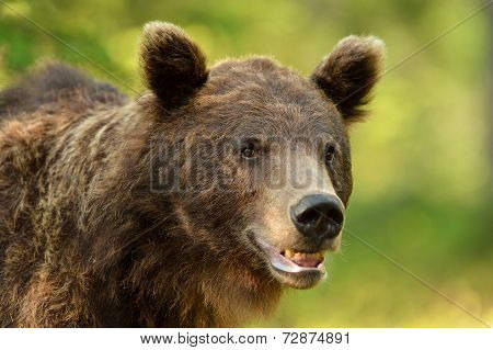 Brown Bear Portrait In The Forest