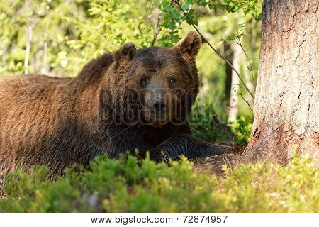 Male Brown Bear Resting In Forest
