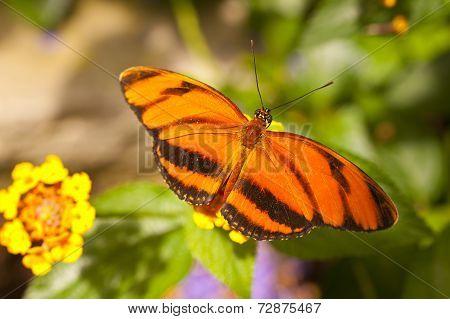 Orange Tiger Dryadula Phaetusa