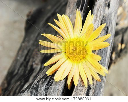 Yellow Chrysanthemum Caught In The Woods