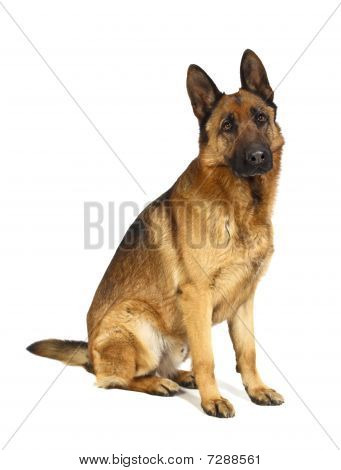 German Shepard On White