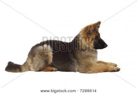Puppy Of German Shepard