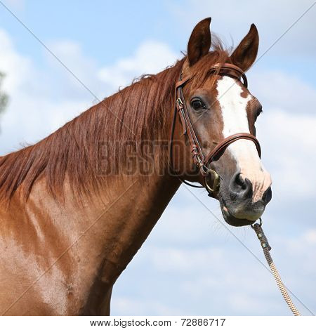 Beautiful Chestnut Warmblood Standing On Green Field