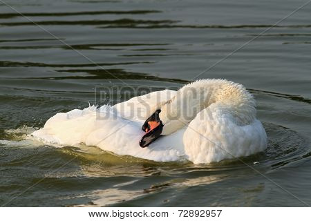 Beautiful Mute Beautiful Mute Swan On Water Surface