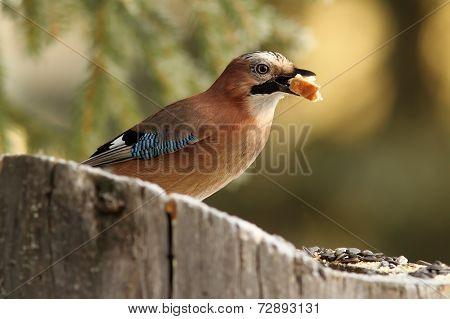 Common Jay Eating A Piece Of Bread