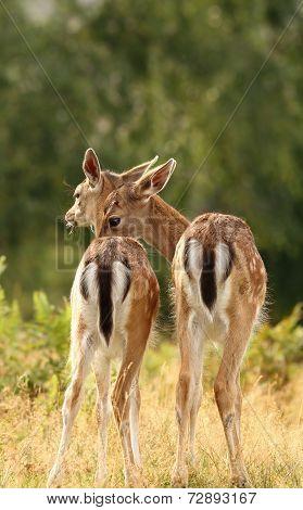 Deer Brothers