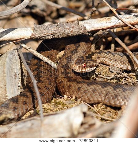 Female Common European Adder