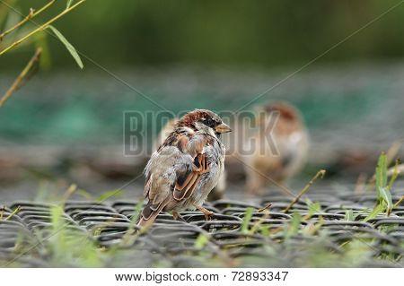 House Sparrow On A Cage