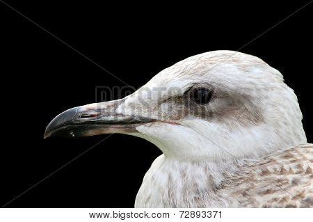 Juvenile Gull Portrait Over Black
