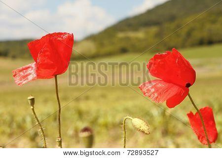 Red Wild Beautiful Poppies