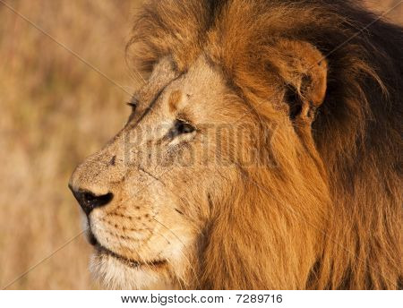 Male Lion With Scars Close-up
