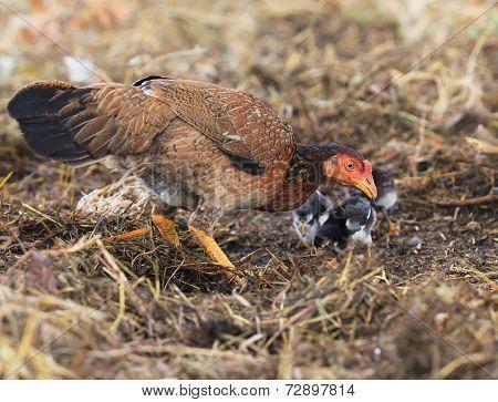 Domestic Livestock Hen Chicken Feeding With Baby Chicken On Field