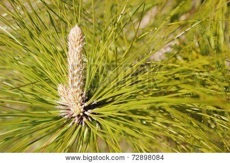 Pine Tree Cone Bud