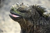 stock photo of pacific islands  - Galapagos Marine Iguana - JPG
