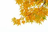 image of ash-tree  - Ash tree branch with yellow leaves in autumn isolated on white background - JPG