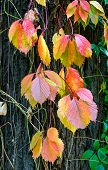 picture of creeper  - Yellow red and green Virginia Creeper leaves on a maple trunk in autumn - JPG