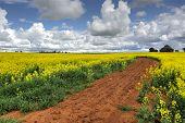 image of rich soil  - A farm of Canola in flower - JPG
