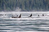 picture of orca  - ORCAS ON THE MOVE IN THE JUAN DE FUCA STRAIT