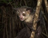 picture of nocturnal animal  - Highly detailed image of Aye - JPG