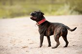 picture of staffordshire-terrier  - Staffordshire bull terrier - JPG